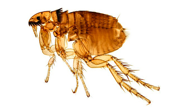 Picadura pulga