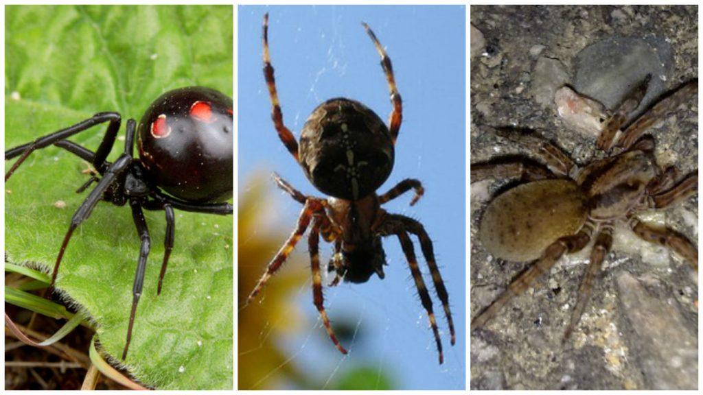 arañas domesticas peligrosas españa
