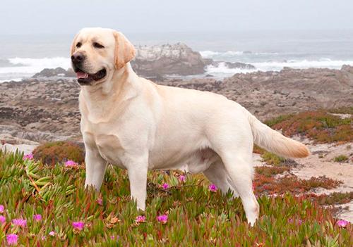 cual es la zara de perro más grande