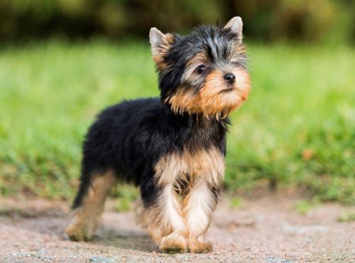 perros de agua características
