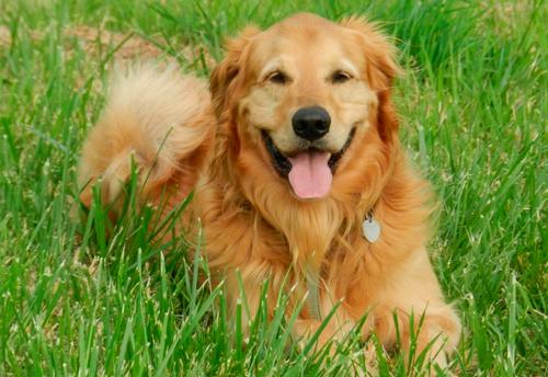 razas de perros ingleses