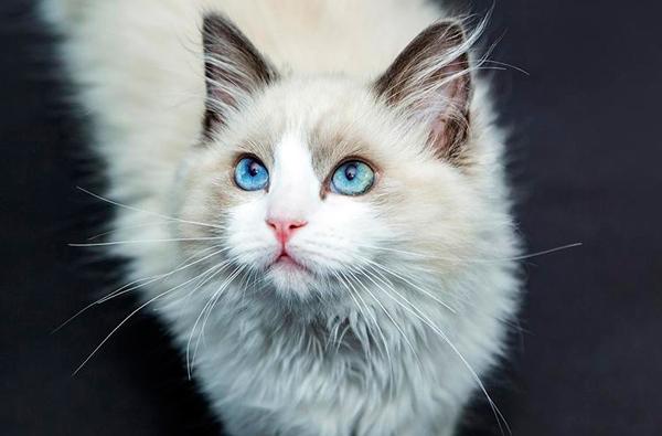 adopcion gato persa