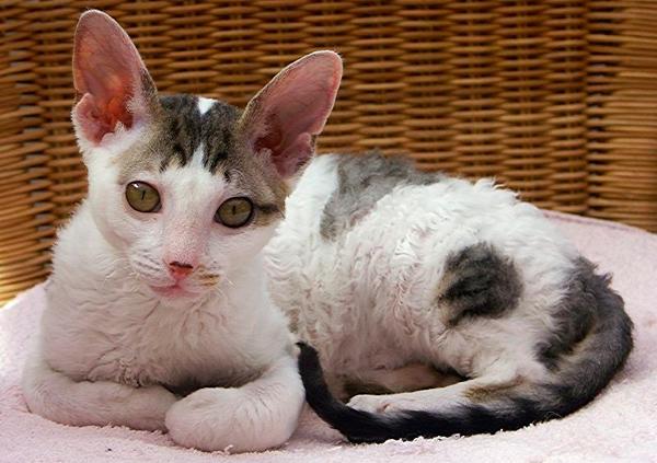 adoptar gato persa
