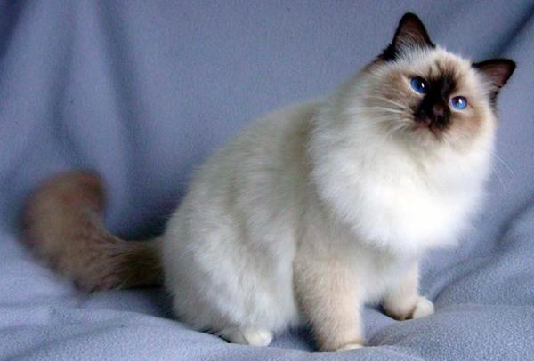 gatos persas pequeños