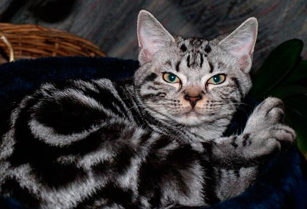 razas gatos pequeños