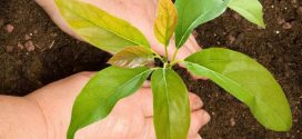 Cómo plantar un aguacate en maceta (con fotos)