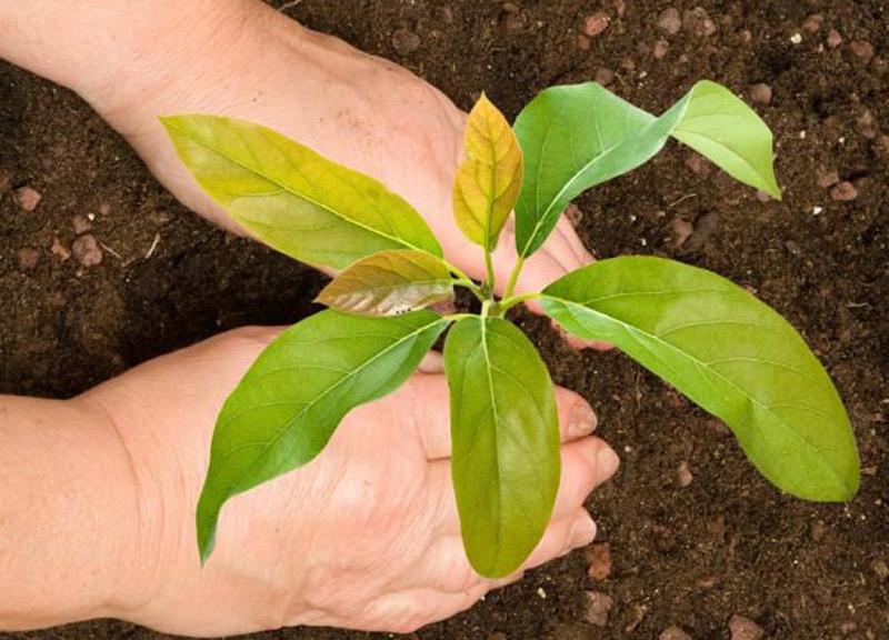 como sembrar hueso de aguacate