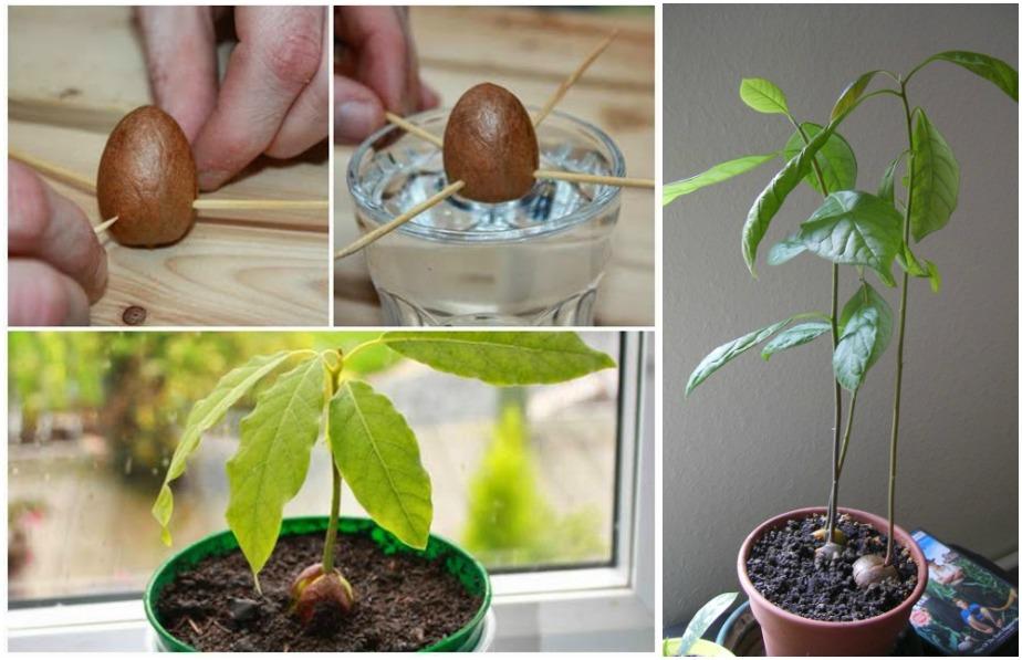 como sembrar un arbol de aguacate en maceta