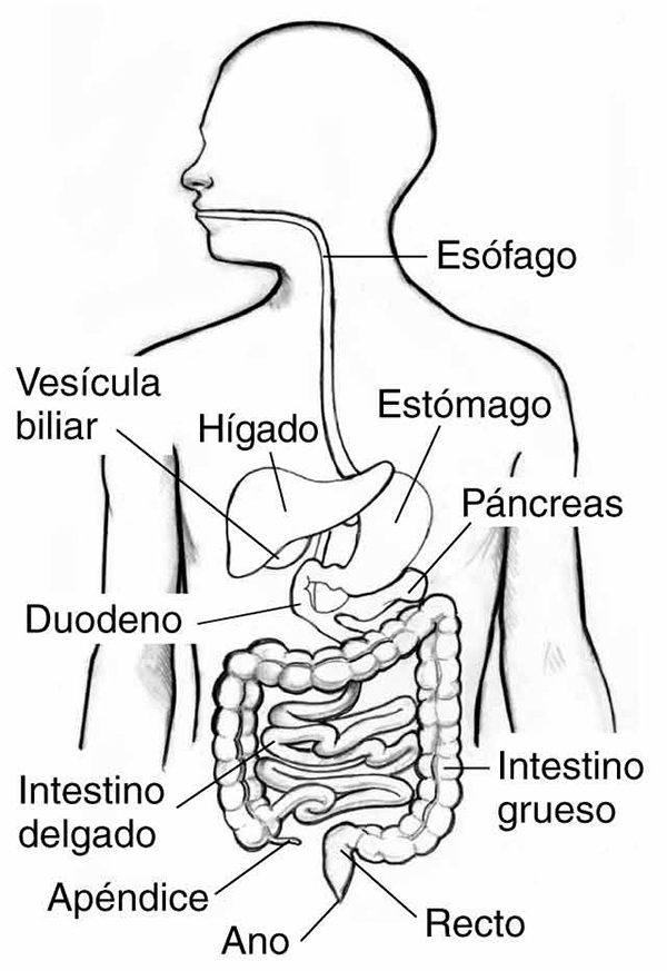 aparato digestivo y sus partes explicadas