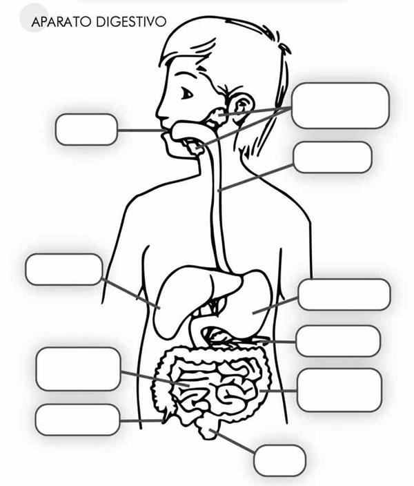 cuales son los organos del sistema digestivo y sus funciones