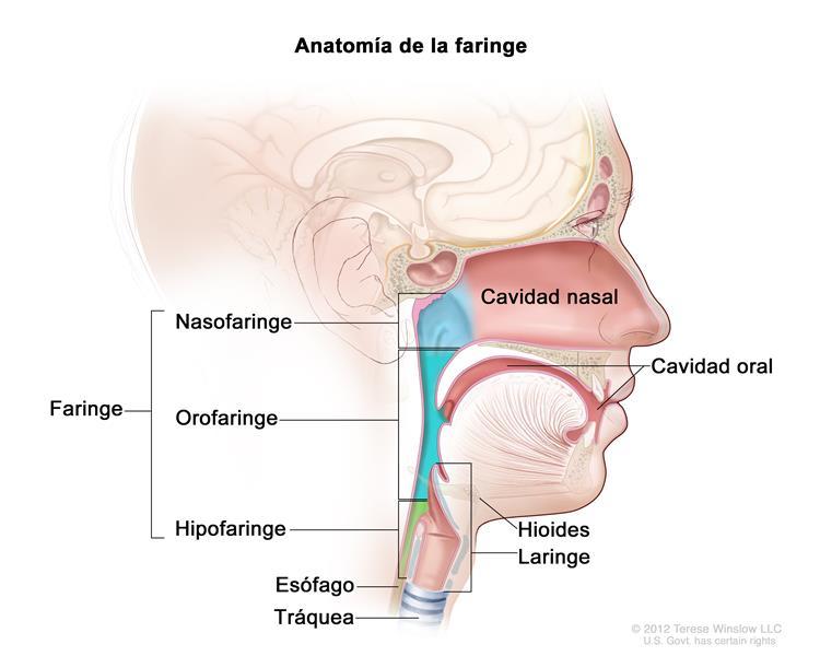 faringe y esofago dibujo imagenes