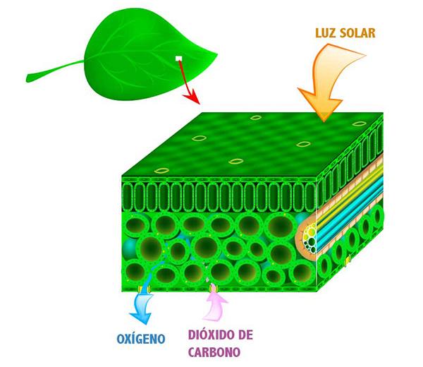 imagen del proceso de fotosintesis en las plantas