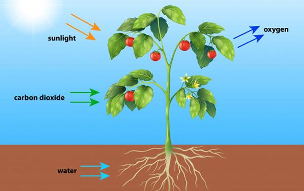 que es una fotosintesis wikipedia