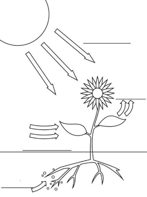 dibujo del proceso de la fotosintesis en las plantas