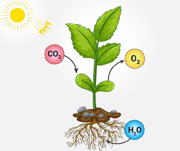 formula de fotosintesis y respiracion