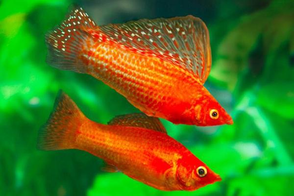 pez mascota infantil